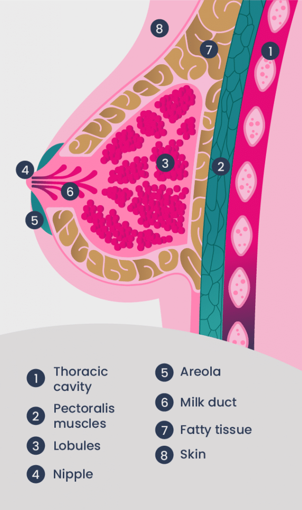 Breast Anatomy infographic